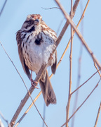 15th Mar 2018 - Proud Song Sparrow