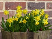 16th Mar 2018 -  Daffodils in the Garden.........At Last!
