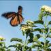Monarch Take Off