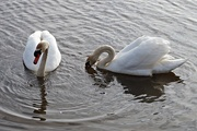 16th Mar 2018 - swans