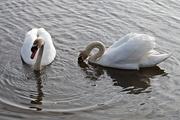 16th Mar 2018 - swans