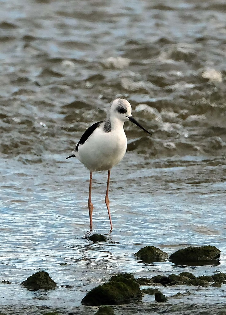 Young pied stilt by maureenpp