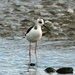 Young pied stilt