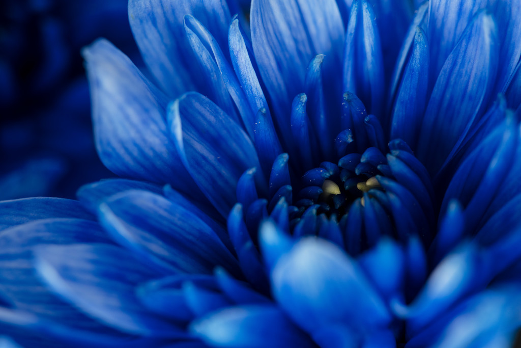 Blue -Chrysanthemum by nicolecampbell