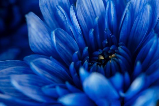 Blue -Chrysanthemum by nicolecampbell