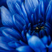 Blue -Chrysanthemum