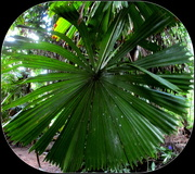 17th Mar 2018 - Big Round leaves of this unusual palm tree