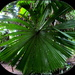 Big Round leaves of this unusual palm tree