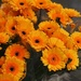 orange gerberas......