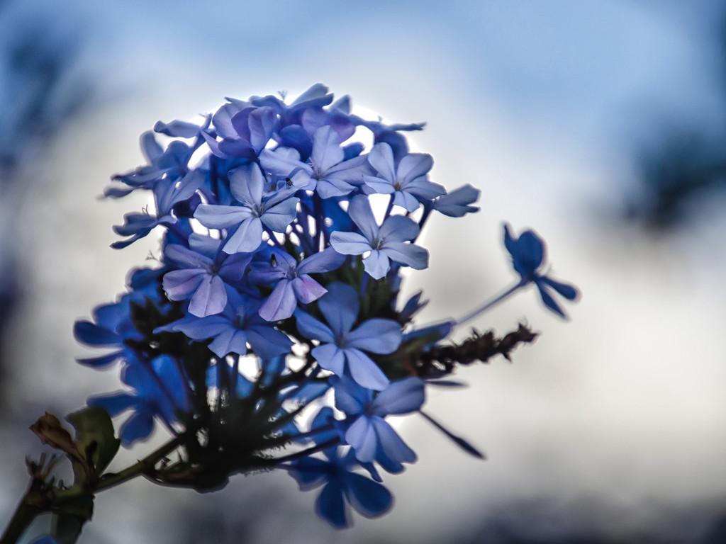 Blue Plumbago by salza
