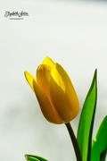 16th Mar 2018 - Yellow tulip