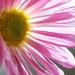 Sunny Petals