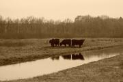 17th Mar 2018 - cattle