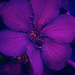 tibouchina by annied