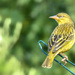Cape Weaver by ludwigsdiana