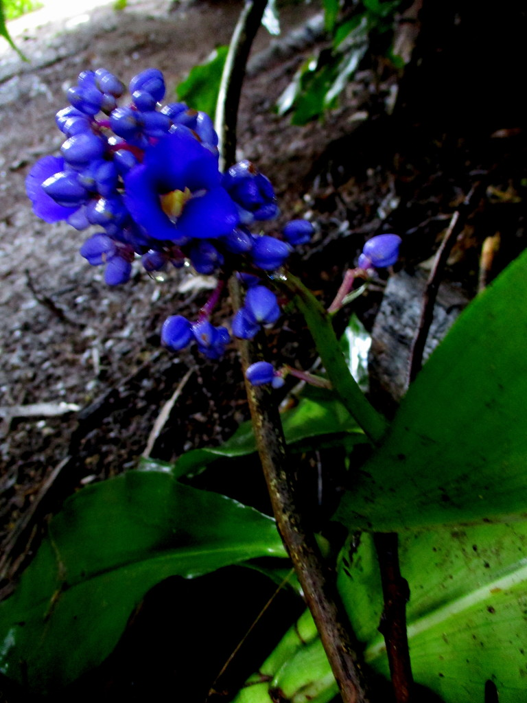 Blue Ginger,  in the shadows of the jungle of my back yard by 777margo