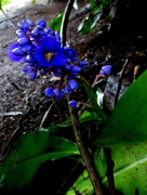 18th Mar 2018 - Blue Ginger,  in the shadows of the jungle of my back yard