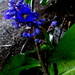 Blue Ginger,  in the shadows of the jungle of my back yard