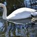 Swan Saturday