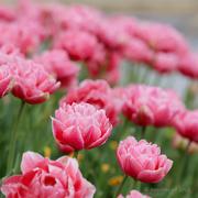 16th Mar 2018 - Full Bloom