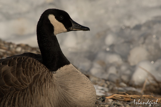 Canada Goose  by radiogirl