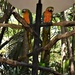 Blue and Golden Macaws