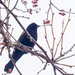 Red-winged Blackbird in a berry tree