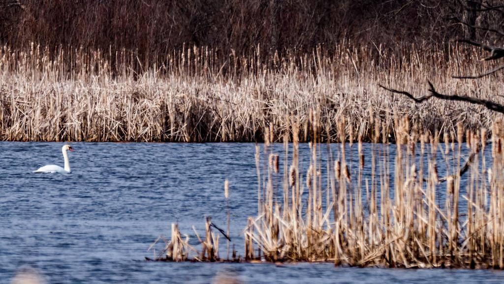 Swan Landscape Wide by rminer
