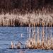 Swan Landscape Wide