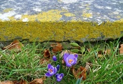 18th Mar 2018 - lichen, crocus