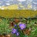 lichen, crocus