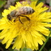 Buzzing A Dandelion by cjwhite
