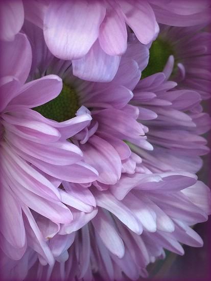 PURPLE flower by homeschoolmom
