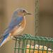 Bluebird Getting a Bite!