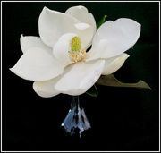 19th Mar 2018 - White Magnolia from my friends garden