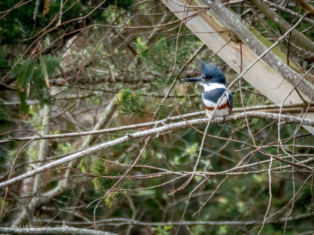 Belted Kingfisher! by elatedpixie