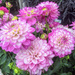 Blowsy Dahlias