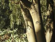 18th Mar 2018 - Evening Light on the Kowhai Tree