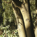 Evening Light on the Kowhai Tree