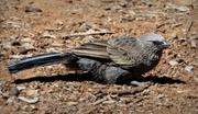 18th Mar 2018 -  Apostle Bird