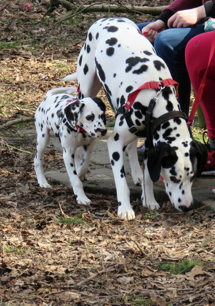Dalmatians by seattlite