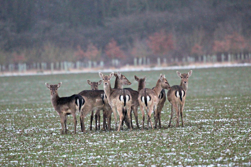Fallow deer in the snow by kimcrisp