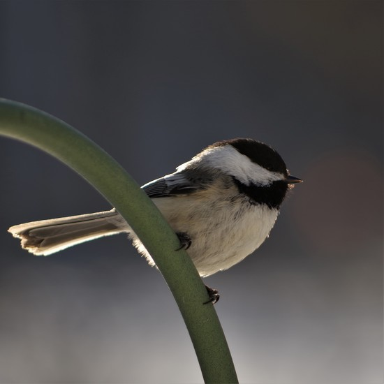 Chickadee  by radiogirl