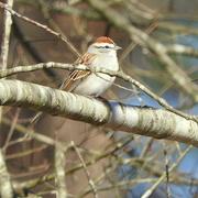 18th Mar 2018 - Cute little birdie