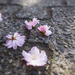 Blossoms on the pavement