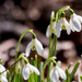Snowdrops on the trails