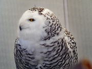 18th Mar 2018 - Snow Owl Profile
