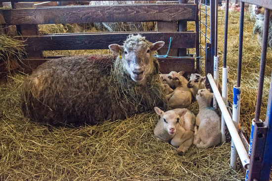 Quintuplets by farmreporter