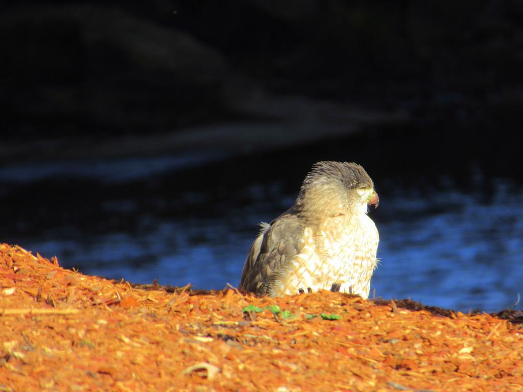 Sharp Shinned Hawk, maybe by granagringa