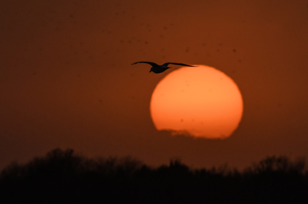 Gull Flies Over the Sunset by kareenking